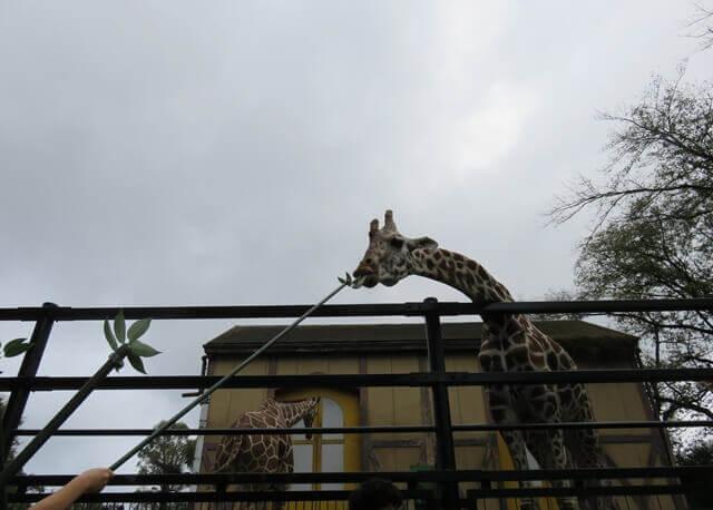 羽村動物園のキリンのエサやり体験