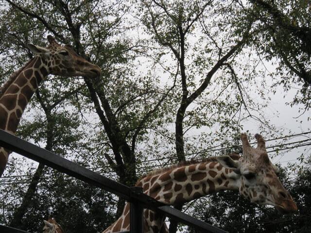 羽村動物園の見上げキリン