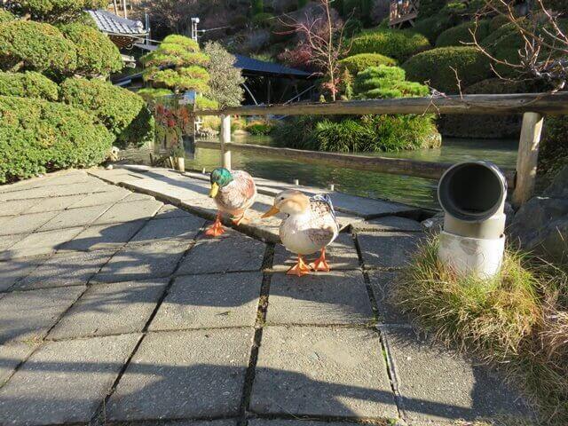 小松沢レジャー農園の池のカモ