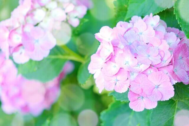 ピンク色のあじさいの画像
