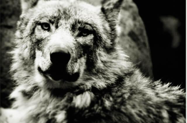オオカミのイメージ画像