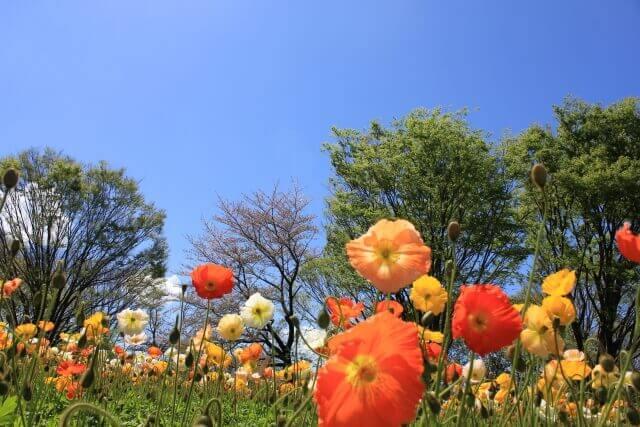 ポピーの花のイメージ画像